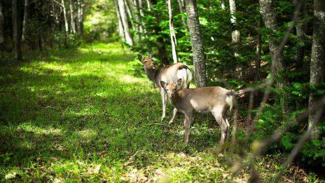 Deer Forest Tree Pictures For Desktop