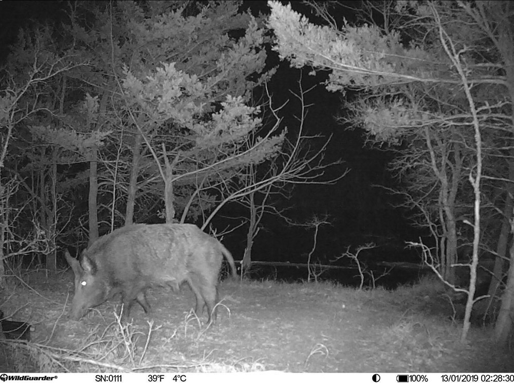 WildGuarder 4G Hunting Camera Wild Boar